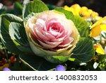 Ornamental Cabbage Is An Annua...