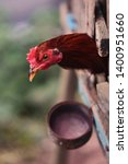 A Rooster In A Wooden Cage