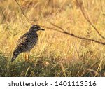Spotted Thick Knee Bird  Stone...