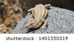 lizard macro  close up  copy... | Shutterstock . vector #1401550319