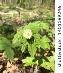 Small photo of Medicinal Goldenseal Hydrastis canadensis in flower with leaves