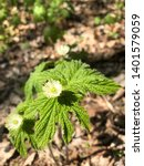 Small photo of Closeup of Goldenseal Hydrastis canadensis showing two leaves and two flowers