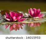 Two Pink Lotus Flowers In Pond...