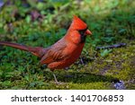 Bright Red Male Cardinal In The ...