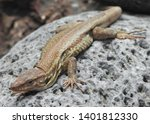 lizard close up  macro.... | Shutterstock . vector #1401812330