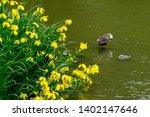 wild bird duck and yellow iris | Shutterstock . vector #1402147646