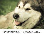 alaskan malamute breed dog... | Shutterstock . vector #1402346369