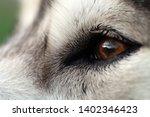 alaskan malamute breed dog... | Shutterstock . vector #1402346423