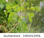 Green Leaf Of Butterfly Tree O...