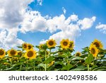 field of sunflowers with blue...   Shutterstock . vector #1402498586