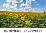 field of sunflowers with blue...   Shutterstock . vector #1402498589