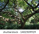 branches of a pod mahogany... | Shutterstock . vector #1402509929