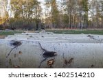 Aspen logs lying in a row on a small sawmill in the countryside. Close-up. In the background - spring forest. Sunset