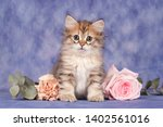 Stock photo siberian cats and kittens on beautiful neutral background perfect for postcards 1402561016