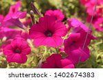 Flower Bed With Purple Petunia...