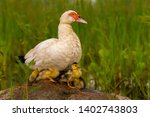 Muscovy White Duck Sitting On ...