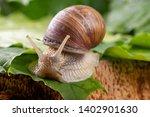 Snail Of Pomatia On Maple...
