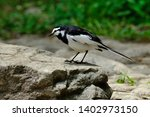 wild bird white wagtail isolated | Shutterstock . vector #1402973150
