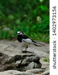 wild bird white wagtail isolated | Shutterstock . vector #1402973156