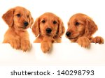 Stock photo three golden retriever puppies studio isolated 140298793