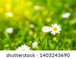 white dasies flower in natural... | Shutterstock . vector #1403243690