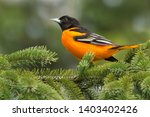 Male baltimore oriole perched...
