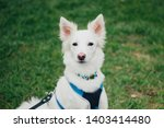 Stock photo close up portrait of white swiss shepherd in harness in grass cute purebred dog 1403414480