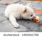 Stock photo cutie puppy white fluffy puppy of pomeranian spitz pomerans puppy dog with apple little spitz 1403461700