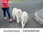 Stock photo young woman walking with two white samoyed dogs in summer park outdoors copy space dog walker 1403468960