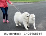 Stock photo young woman walking with two white samoyed dogs in city copy space dog walker owner and dogs 1403468969