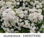 crataegus flower  rosales...   Shutterstock . vector #1403475500