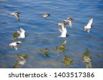 Flock Of Beach Birds Ruddy...