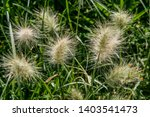 plant with white fluffy flowers   Shutterstock . vector #1403541473