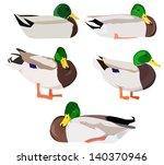 Wild Ducks In Various Poses
