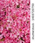Pink Rhododendron Flowers Background - Rhododendron Obtusum aka Hiryu azalea