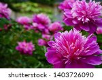 purple peony is blooming at...   Shutterstock . vector #1403726090