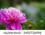 purple peony is blooming at...   Shutterstock . vector #1403726096