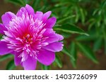 purple peony is blooming at...   Shutterstock . vector #1403726099