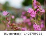 pink silene dioica flower is...   Shutterstock . vector #1403759336