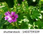 pink silene dioica flower is...   Shutterstock . vector #1403759339