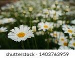 chrysanthemum cinerariaefolium...   Shutterstock . vector #1403763959