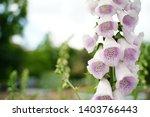 light purple digitalis purpurea ...   Shutterstock . vector #1403766443