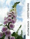 light purple digitalis purpurea ...   Shutterstock . vector #1403766446