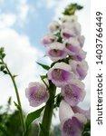 light purple digitalis purpurea ...   Shutterstock . vector #1403766449