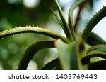 aloe africana mill. at...   Shutterstock . vector #1403769443