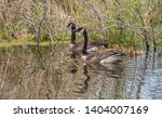 A Canada Geese Family Going Fo...