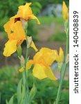 Fresh Bright Yellow Irises In ...