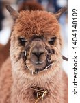 A Closeup Of A Brown Alpaca...