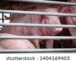 Pigs In Truck Transport From...