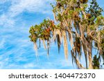 branches of a big tree with... | Shutterstock . vector #1404472370